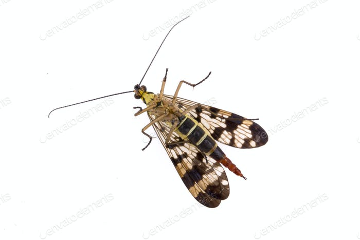 Scorpion Fly on  white background