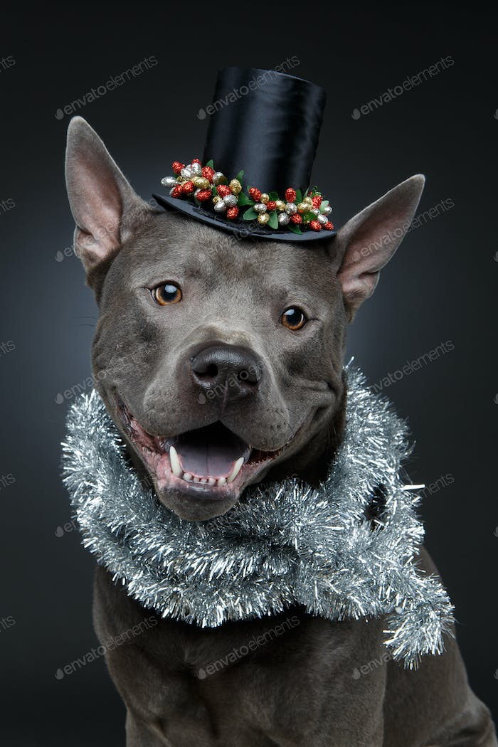 beautiful thai ridgeback dog in high hat