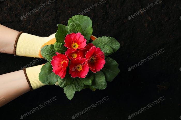 Frau hält Topf mit Blume auf Bodengrund, Draufsicht