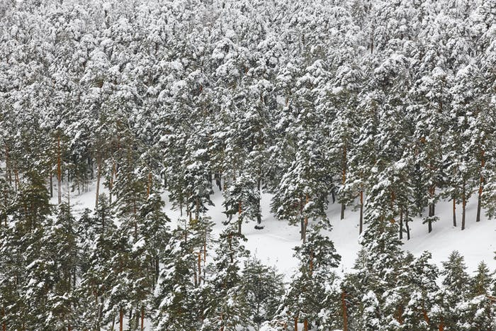 Winter mountain pinewood forest snowy landscape. Navacerrada, Spain. Horizontal