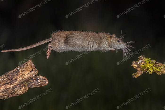 Wild brown rat jump