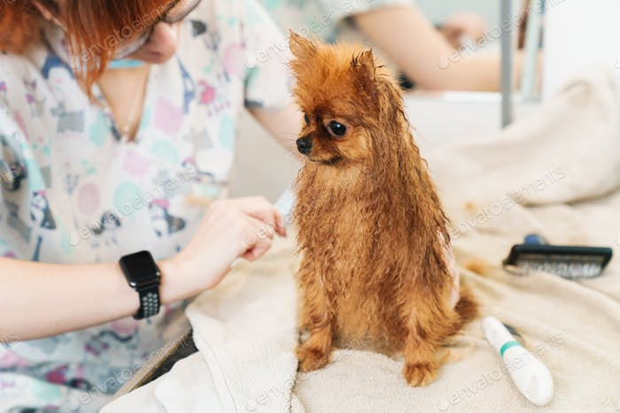 Image of female pet hairdresser grooming pomeranian spitz in dog salon