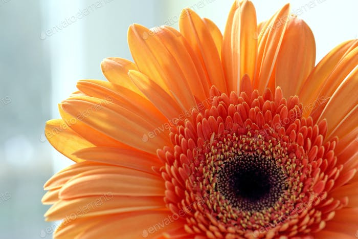 closeup of gerber daisy flower