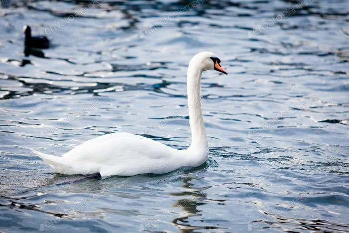 White Swan on the Lake.  Swan on water. Mute swan