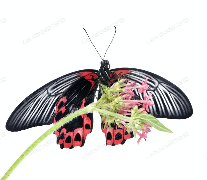 Papilio rumanzovia (female) butterfly