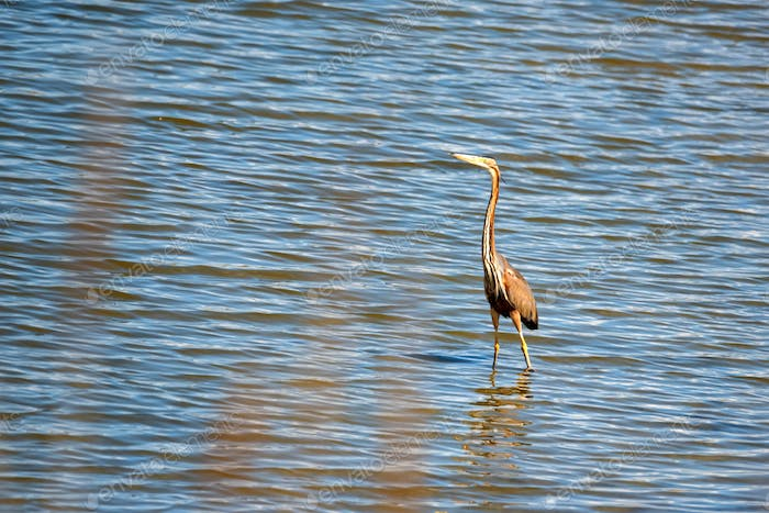 Purple heron wading in the pond