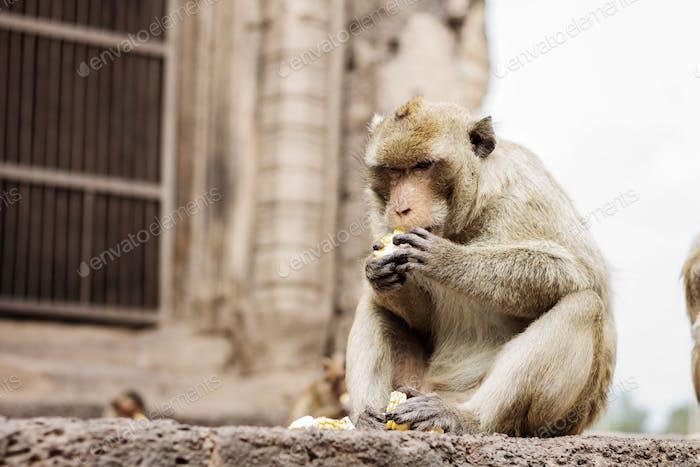 Monkey on brick are eating
