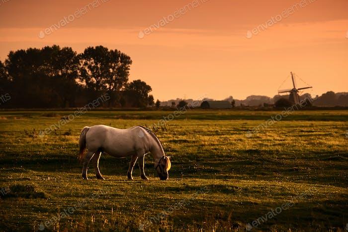 white horse on pasture at sunrise