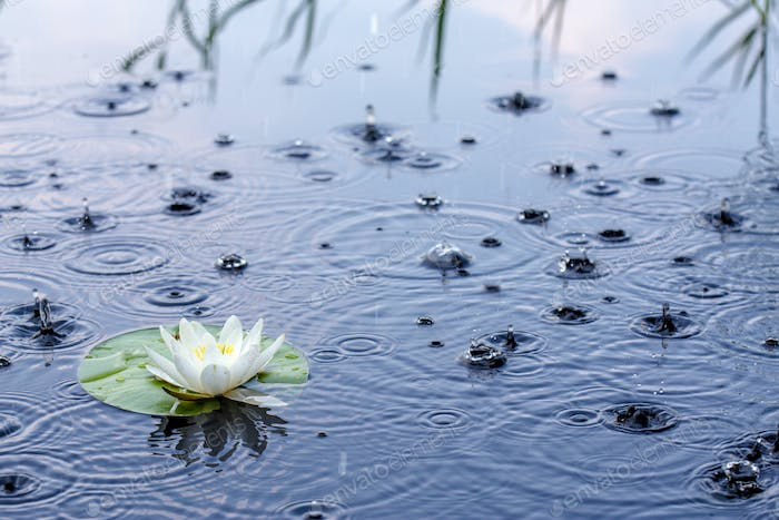 Beautiful white water lily in the rain