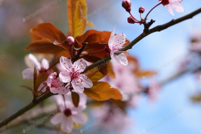 Sakura blossom closeup
