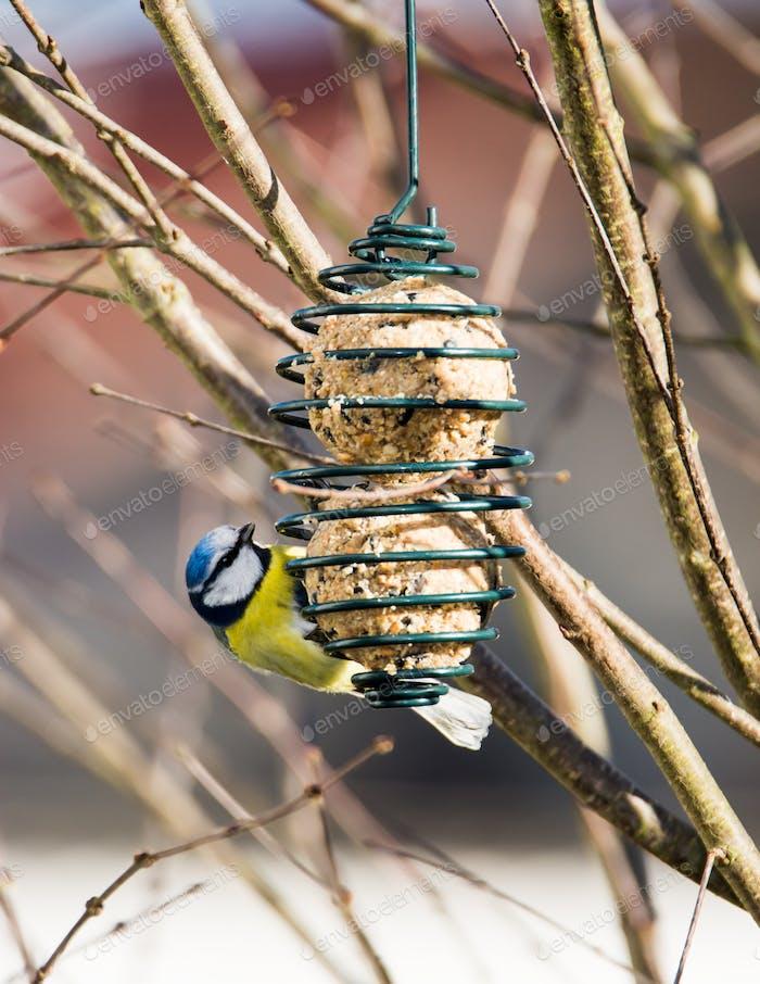 Blaumeise Vogel Essen an einem Vogelfutterhaus