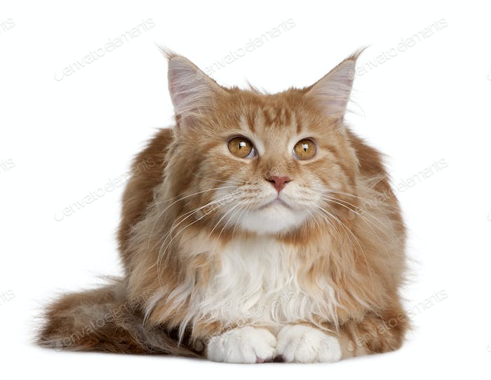 Maine Coon kitten sitting in front of white background