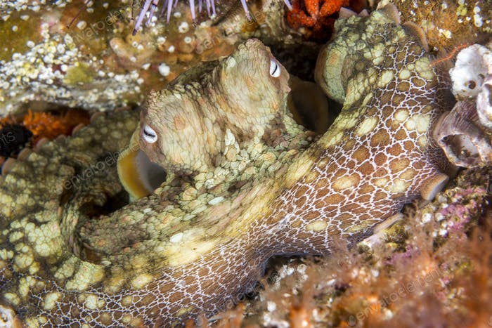 Octopus resting in crevice