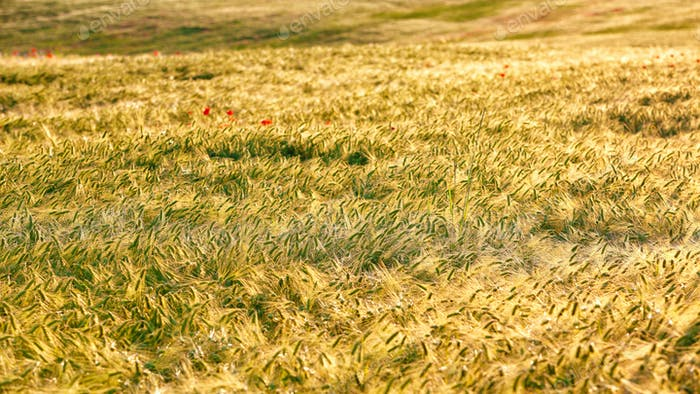 Summer background golden wheat ears in sunlight.