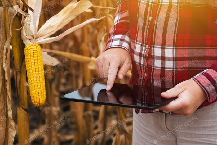 Female farmer working on tablet computer in corn field
