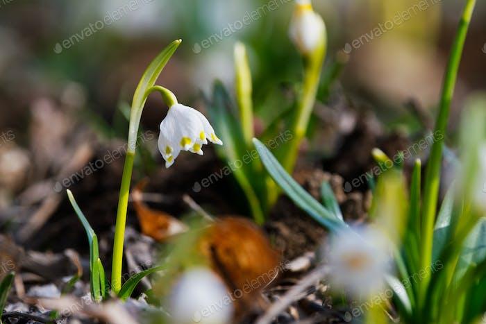 Beautiful blooming of White spring snowflake flower
