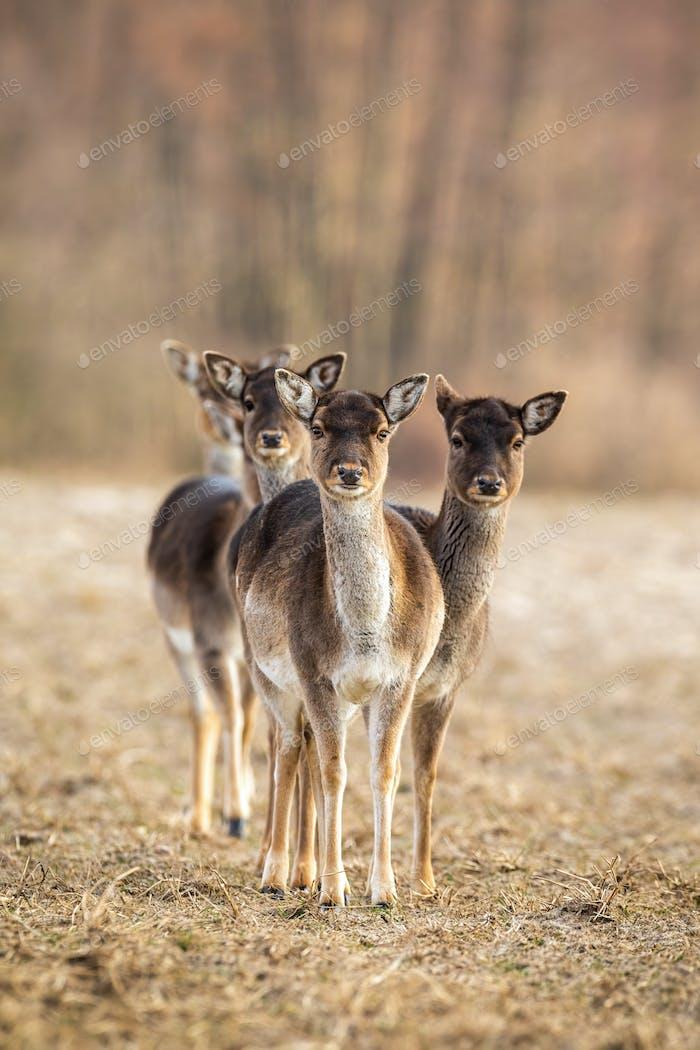Vertical photo of fallow deer herd facing camera with copy space