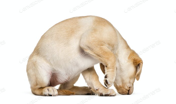 Labrador Retriever sniffing, 2 months old, in front of white background