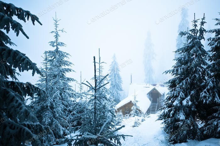 Pine trees and fur trees covered with snow in winter forest