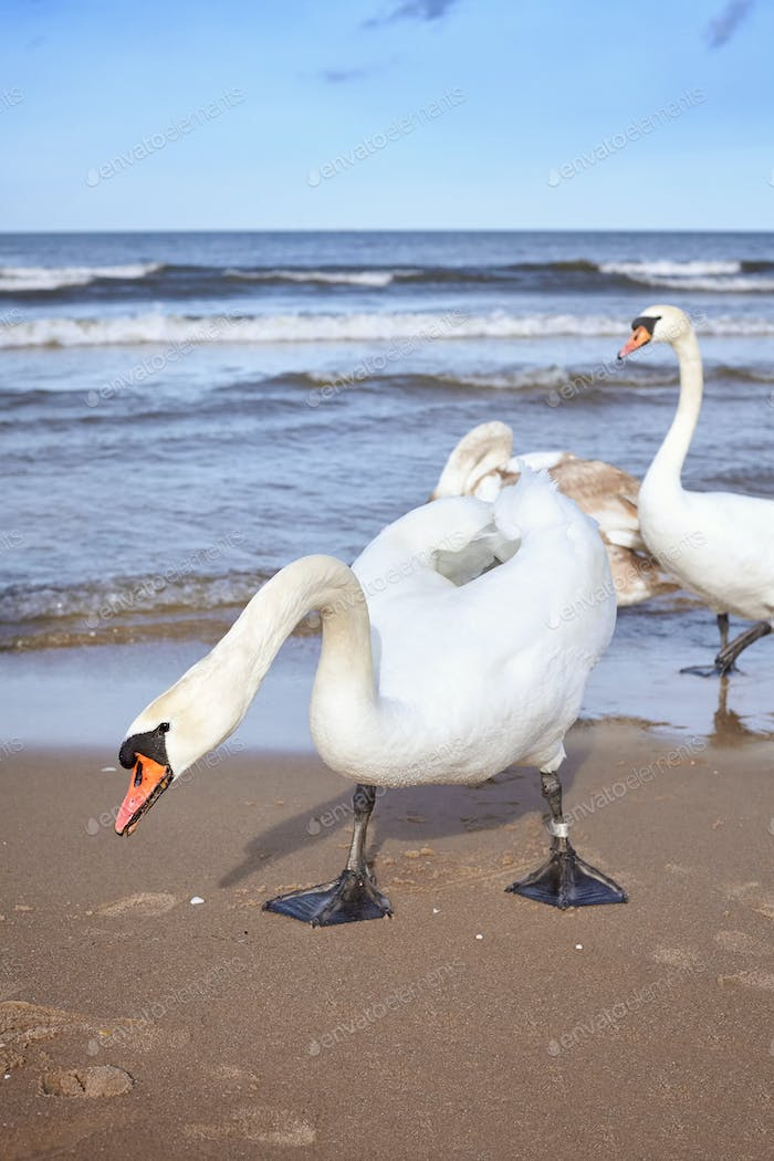 Picture of mute swans on a beach