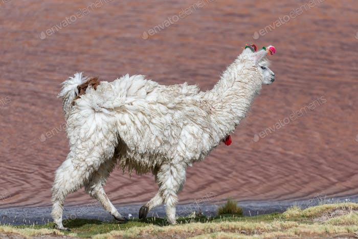 A llama (camelid native to South America) in a pink Lake