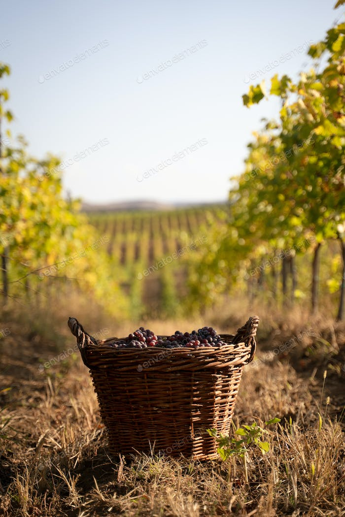 freshly harvested grapes in wicker baskets in the vineyard