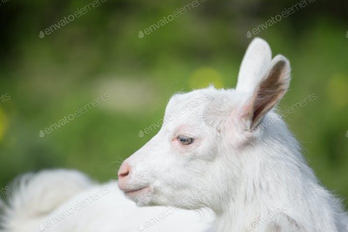 Standing sideways white goat