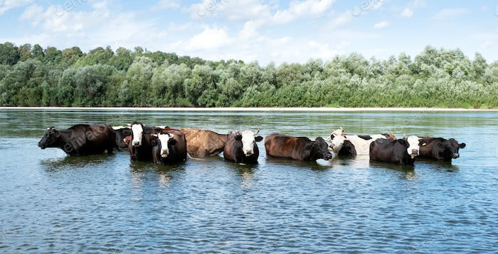 Cows watering in the river