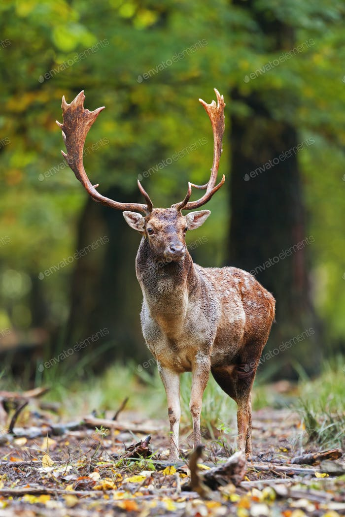 Fallow deer standing in the forest in the summer with space for text