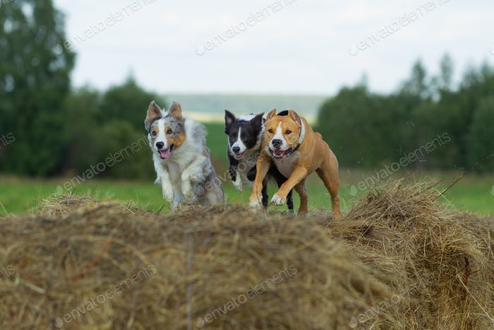 Dogs in the hay. Border Collie and Staffordshire Terrier on hay rolls