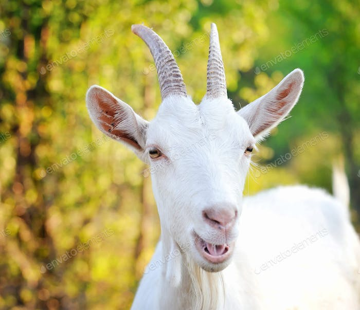 Close up portrait of a white goat in the pasture