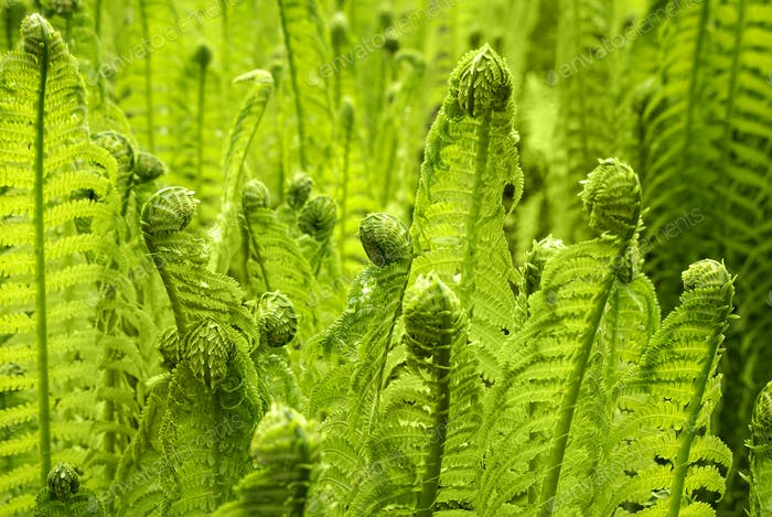 Beautiful young green fern grows in a forest in early spring