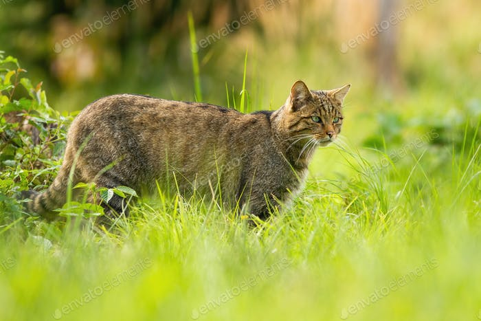 Focused european wildcat on a hunt looking for prey in summer