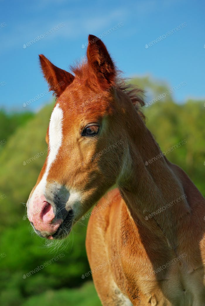 Portrait of foal.