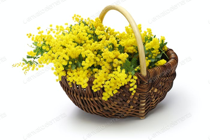 mimosa in the basket isolated on white background