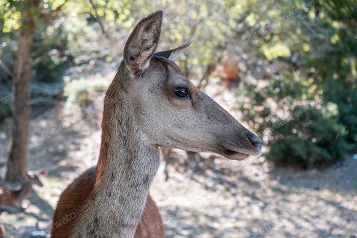 Wild red deer, Cervus elaphus, at Parnitha forest mountain, Greece. Blur background.
