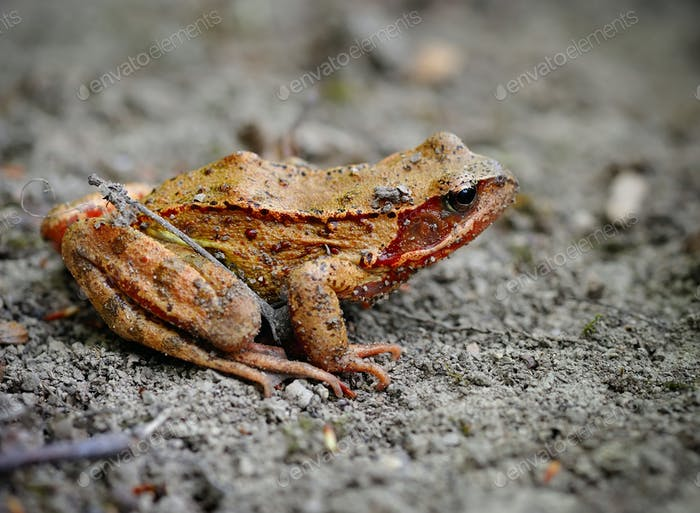 Common brown frog (Rana temporaria)