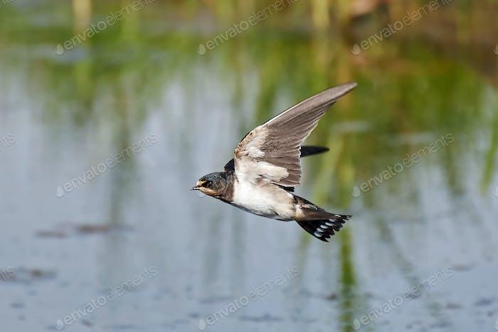 Barn swallow (Hirundo rustica)