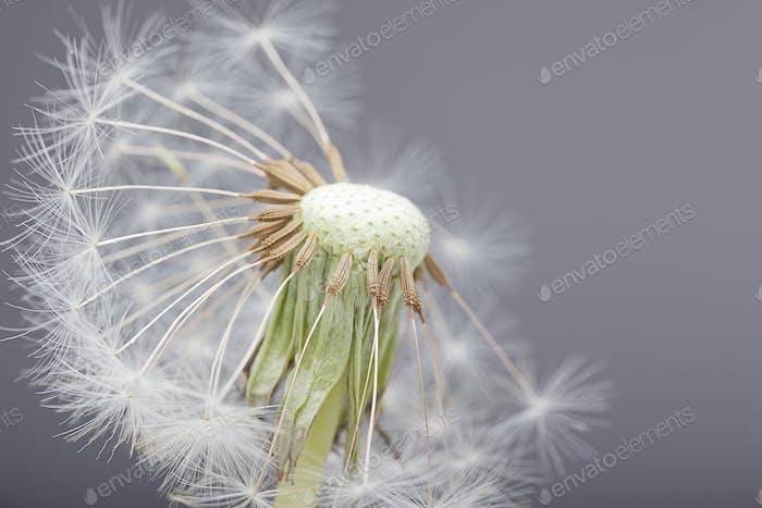 Half blown dandelion