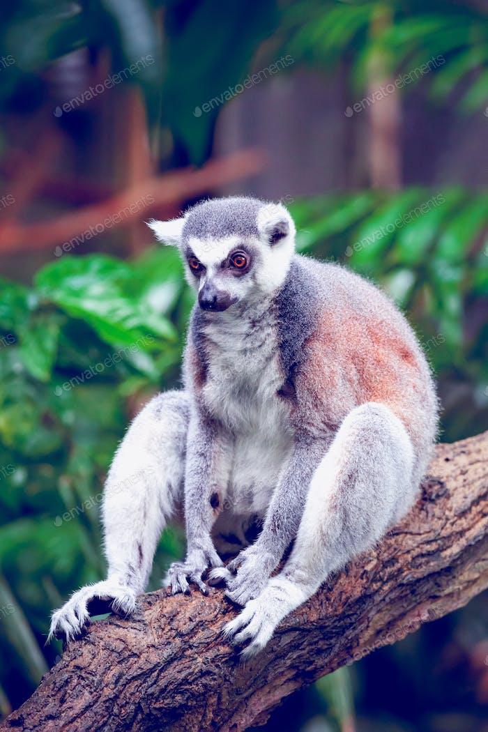 Ringschwanz-Lemur