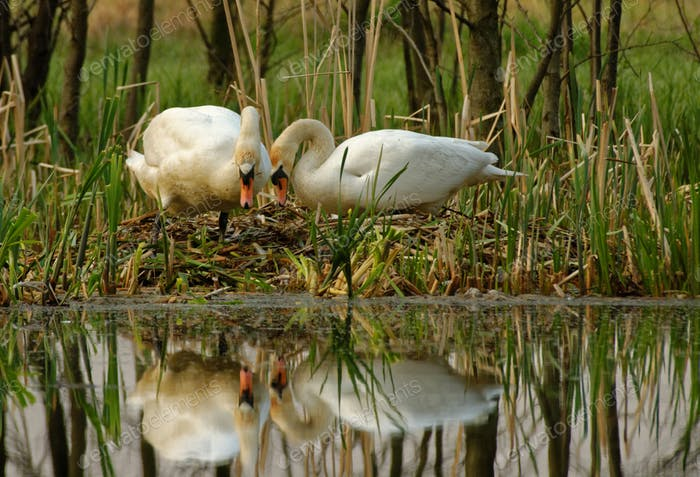 Pair of mute swan (Cygnus olor) by the nest on the river bank