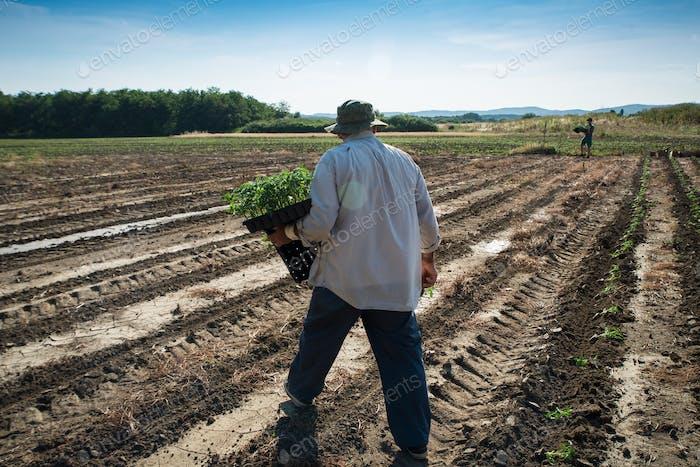 Mann Bauer Pflanzung junge Tomaten Pflanzen