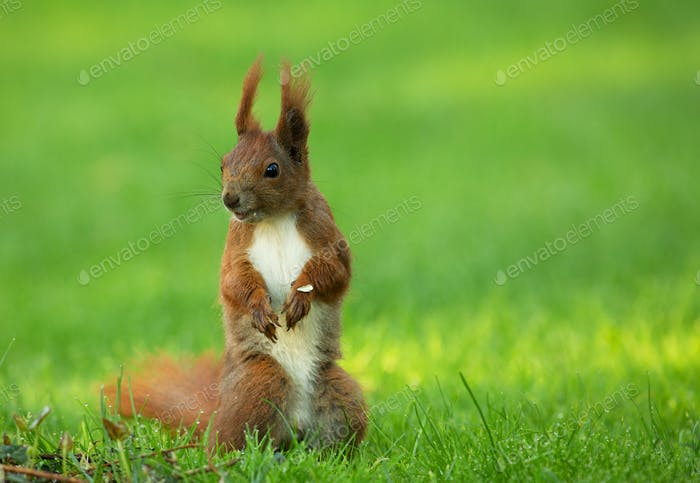 Squirrel (Sciurus vulgaris) stands upright