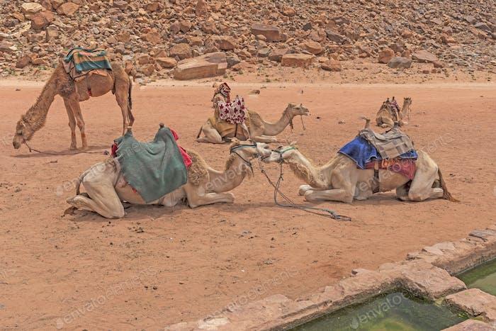 Kamele schwirren an einer Oase