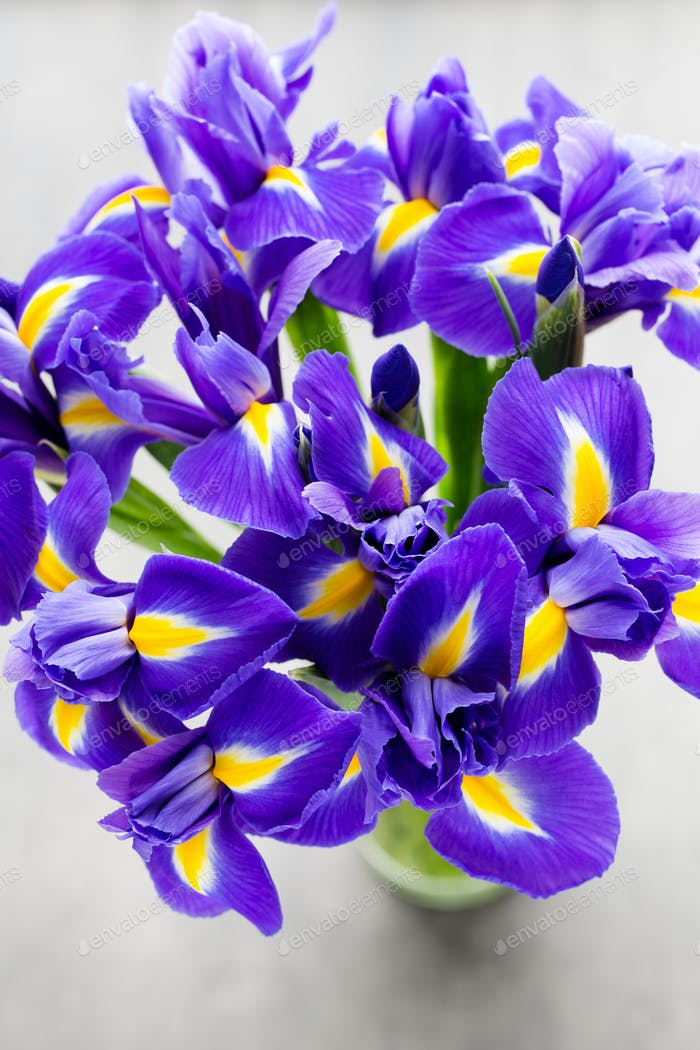 Iris Blume auf dem grauen Hintergrund.