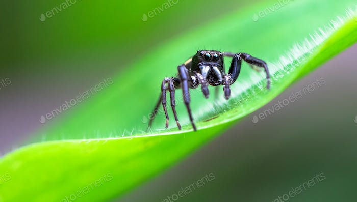 Jumping Spider Up Close in Costa Rica