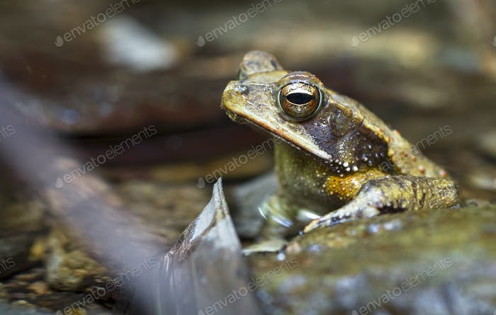 Campbell's Rainforest Toad in Belize