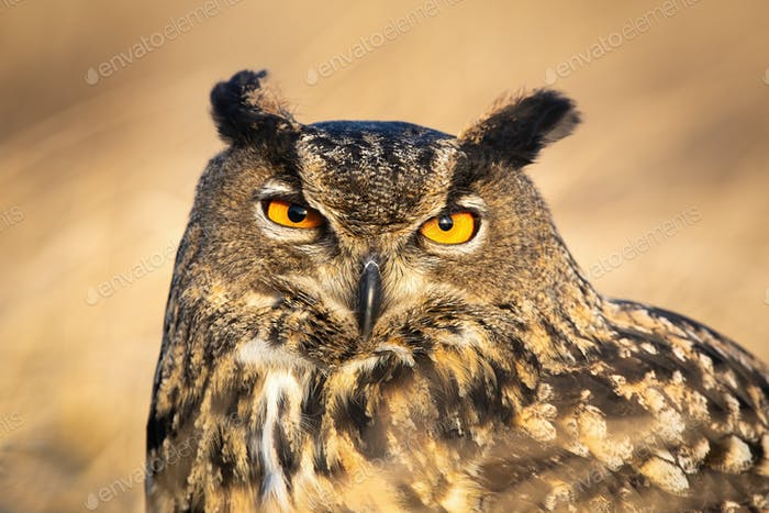 Close-up of large wild owl looking into camera with intense orange eyes