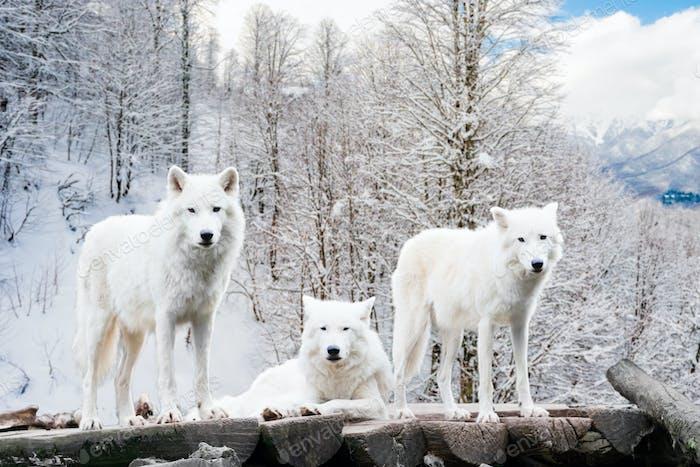Arktische Wölfe. Weißer Wolf im Winterwald