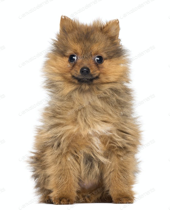 Smiling Pomeranian Puppy, 2 months old, sitting, isolated on white
